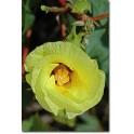 Algodón - Esencia Floral...