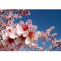 Almendro - Esencia Floral...