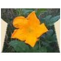 Calabacín - Esencia Floral...