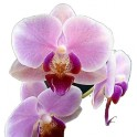Esencia de Orquídea Europea...