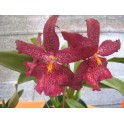 Esencia de Orquídea Alegría...