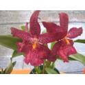 Esencia de Orquídea Color -...