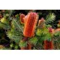 Esencia de Banksia Robur -...