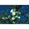 Esencia de Bush Gardenia -...